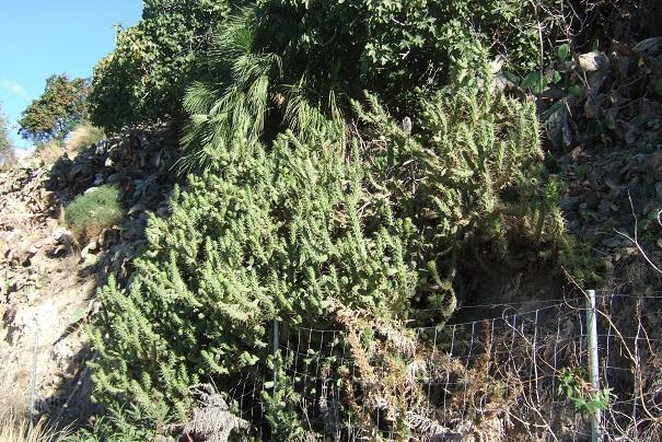 Austrocylindropuntia subulata Dscf3310