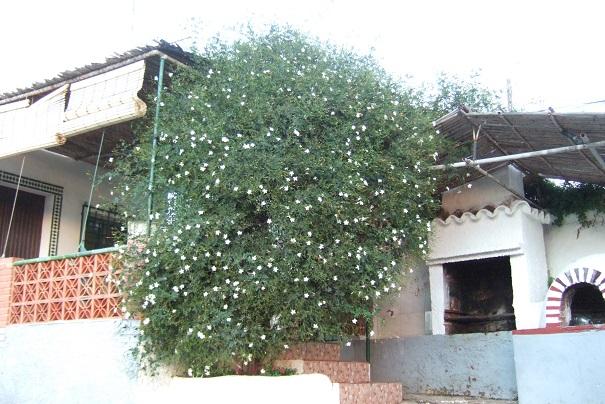 Jasminum grandiflorum - jasmin à grandes fleurs Dscf3313