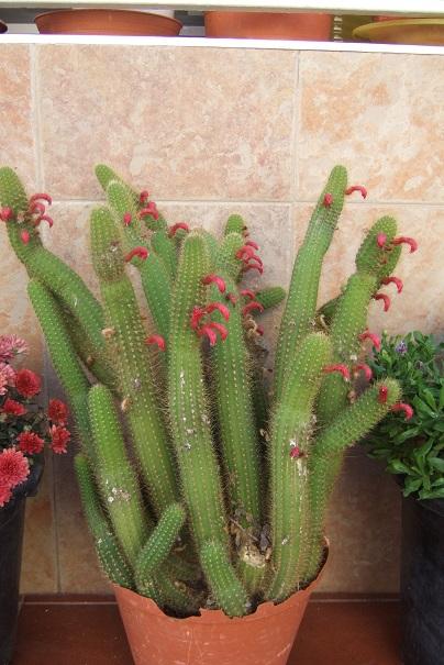 Cleistocactus sp. [Identification non terminée] Dscf3616