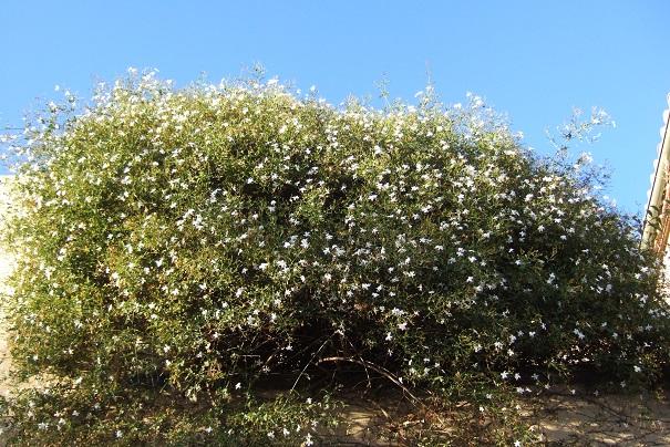 Jasminum grandiflorum - jasmin à grandes fleurs Dscf3812