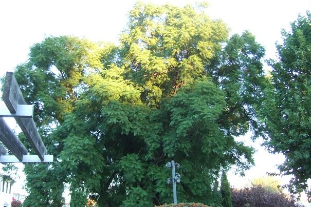 Jacaranda mimosifolia - Page 3 Dscf4010