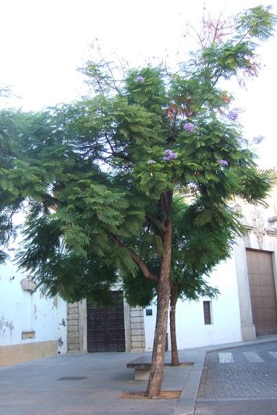 Jacaranda mimosifolia - Page 3 Dscf4011