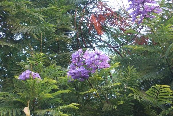 Jacaranda mimosifolia - Page 3 Dscf4012