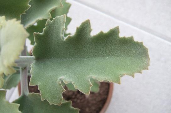 Kalanchoe 'Oak Leaf' Dscf4513