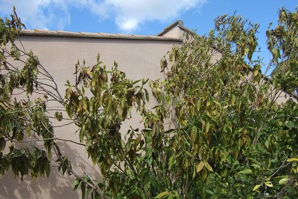 Justicia adhatoda (= Adhatoda vasica) - carmentine en arbre Dscf4620