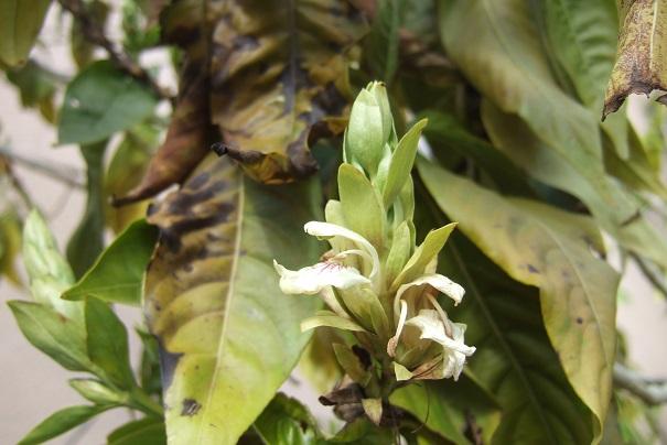 Justicia adhatoda (= Adhatoda vasica) - carmentine en arbre Dscf4622