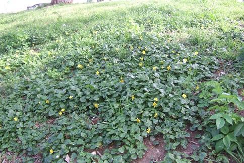 Ficaria verna (= Ranunculus ficaria) - ficaire - Page 2 Dscf4725