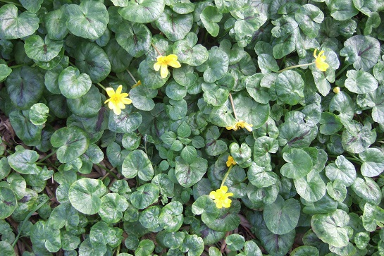 Ficaria verna (= Ranunculus ficaria) - ficaire - Page 2 Dscf4726