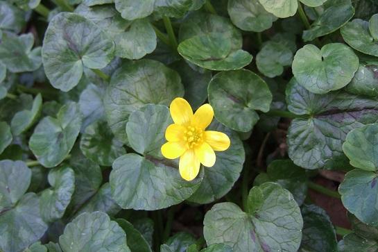 Ficaria verna (= Ranunculus ficaria) - ficaire - Page 2 Dscf4727