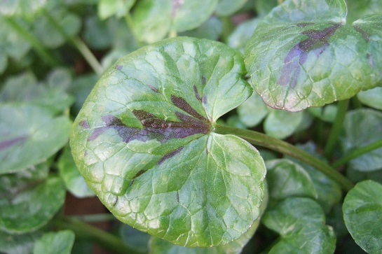 Ficaria verna (= Ranunculus ficaria) - ficaire - Page 2 Dscf4728