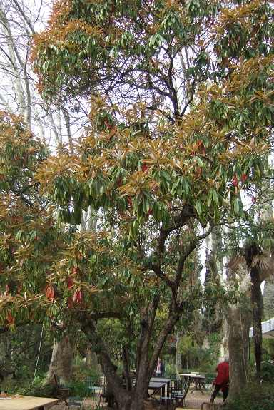 Photinia serrulata Dscf4814