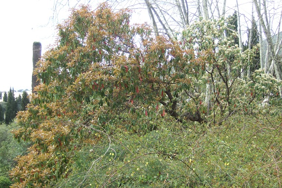 Photinia serrulata Dscf4815