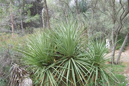 Puya chilensis Dscf4819