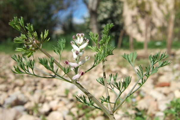 Fumaria parviflora - fumeterre à petites fleurs Dscf4838
