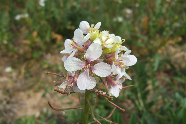 Diplotaxis erucoides - roquette blanche Dscf4924