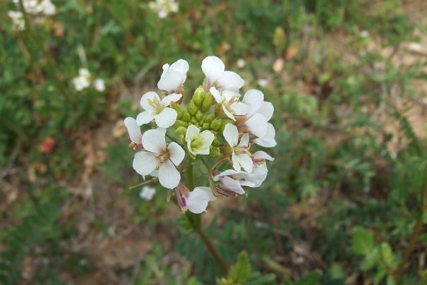 Diplotaxis erucoides - roquette blanche Dscf4925
