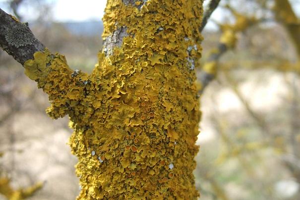 Xanthoria parietina - xanthorie des parois Dscf4927