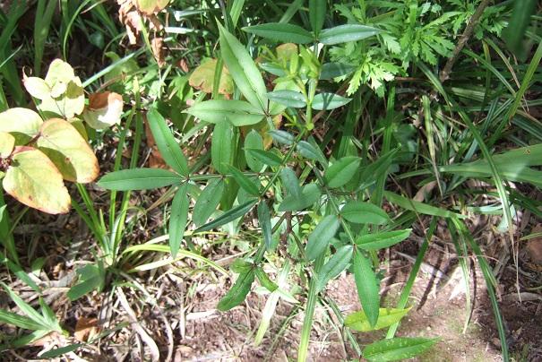Zanthoxylum armatum - poivre de Timut Dscf4928