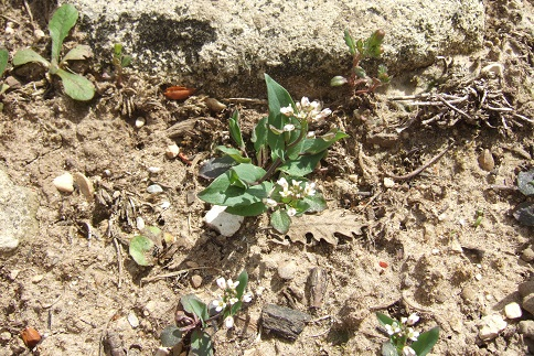 Microthlaspi perfoliatum (= Noccaea perfoliata) - tabouret perfolié Dscf4940