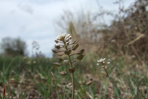 Microthlaspi perfoliatum (= Noccaea perfoliata) - tabouret perfolié Dscf4943