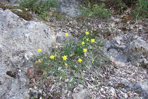 Narcissus assoanus - narcisse d'Asso Dscf4944