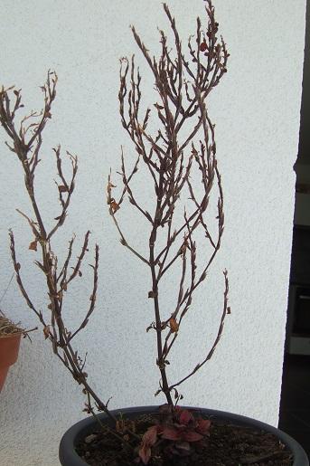Hypoestes phyllostachya Dscf5013