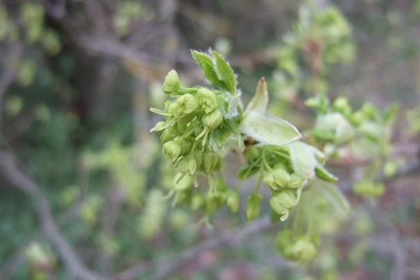 Acer monspessulanum - érable de Montpellier - Page 3 Dscf5025