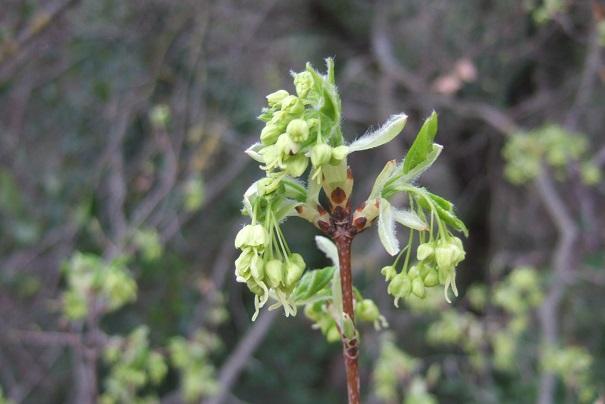 Acer monspessulanum - érable de Montpellier - Page 3 Dscf5026