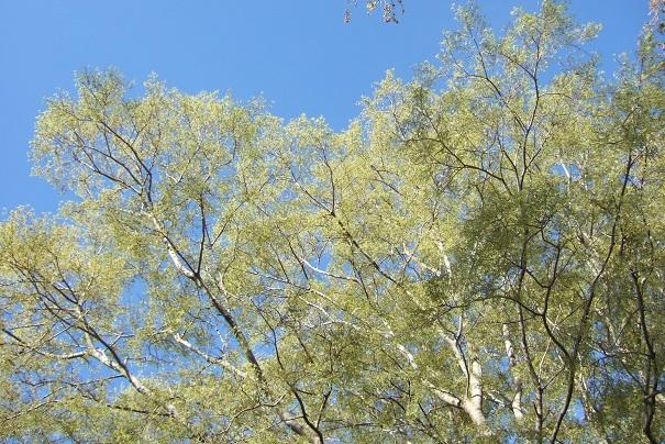 Celtis australis - micocoulier - Page 3 Dscf5114