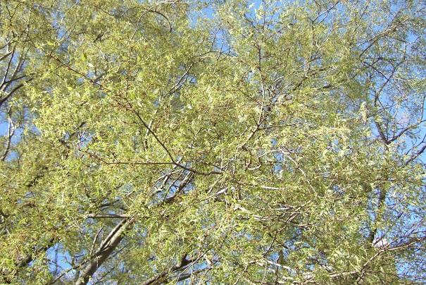 Celtis australis - micocoulier - Page 3 Dscf5115