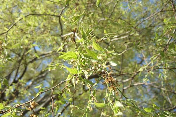 Celtis australis - micocoulier - Page 3 Dscf5116
