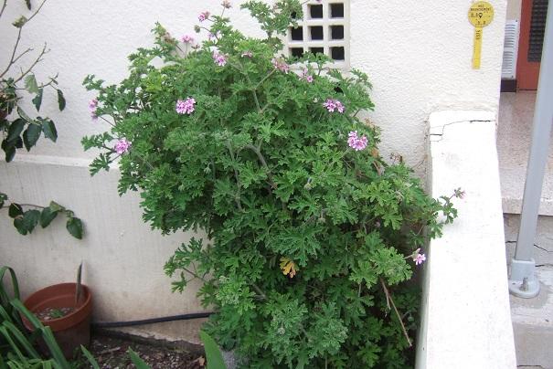 Pelargonium sp. (non crispum) Dscf5213