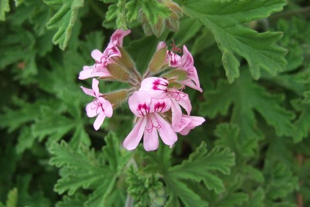 Pelargonium sp. (non crispum) Dscf5214