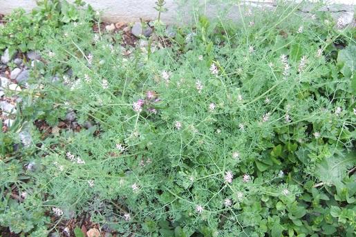 Fumaria parviflora - fumeterre à petites fleurs Dscf5223
