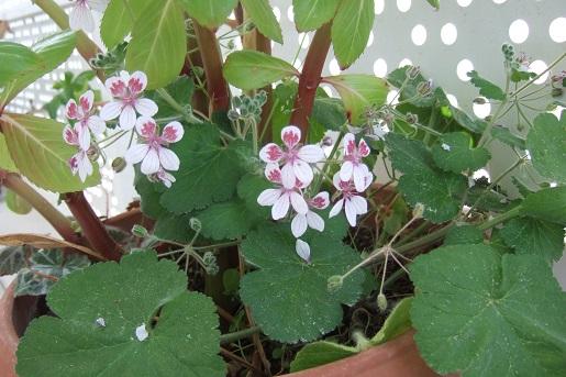 Erodium pelargoniflorum ≠ Erodium trifolium - discussion - Page 2 Dscf5226