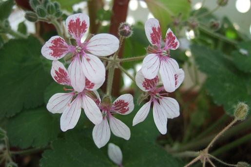 Erodium pelargoniflorum ≠ Erodium trifolium - discussion - Page 2 Dscf5227