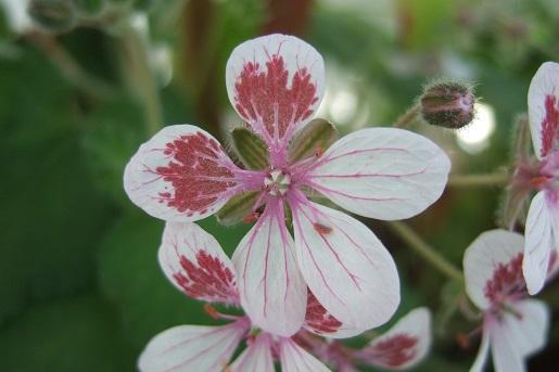 Erodium pelargoniflorum ≠ Erodium trifolium - discussion - Page 2 Dscf5228