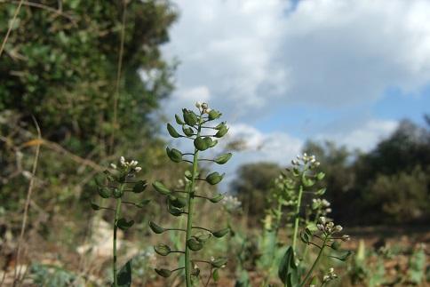 Microthlaspi perfoliatum (= Noccaea perfoliata) - tabouret perfolié Dscf5320