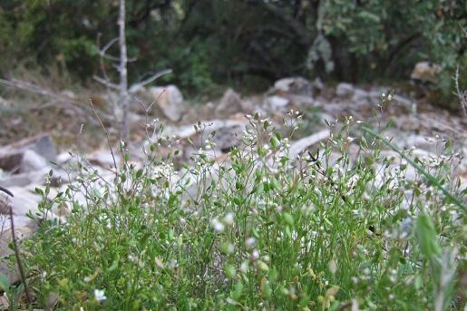 Draba verna (= Erophila verna) - drave printanière Dscf5323