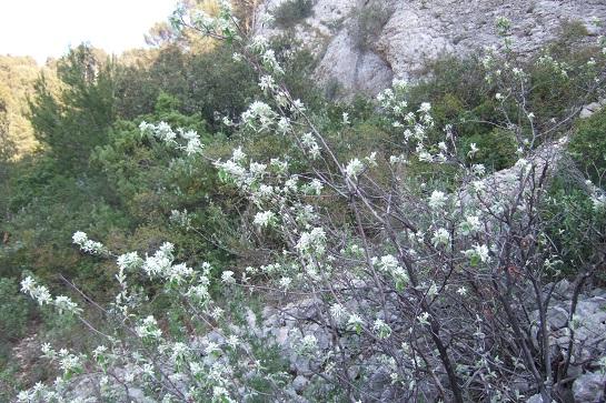 Amelanchier ovalis - amélanchier Dscf5410