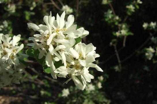 Amelanchier ovalis - amélanchier Dscf5411