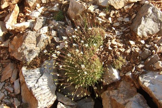 Saxifraga fragosoi (= Saxifraga continentalis) - saxifrage continentale Dscf5415