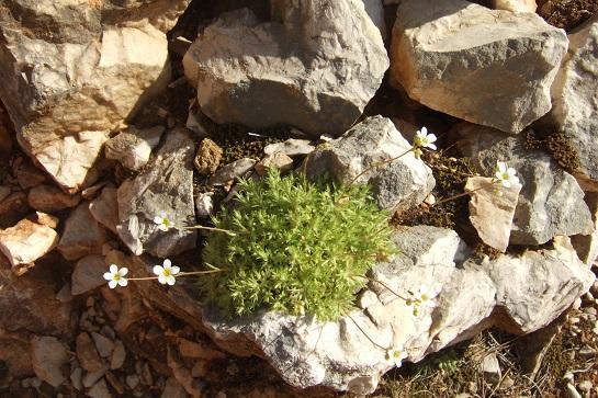 Saxifraga fragosoi (= Saxifraga continentalis) - saxifrage continentale Dscf5416