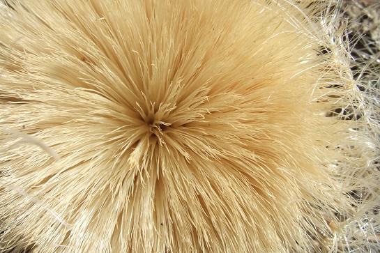 Carlina acanthifolia - cardabelle Dscf5433