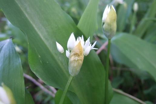 Allium ursinum - ail des ours Dscf5523