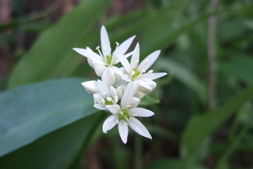 Allium ursinum - ail des ours Dscf5524