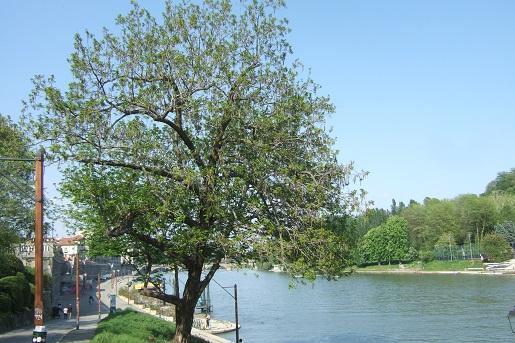 Pterocarya caucasica = fraxinifolia , Pterocaryer du Caucase  - Page 2 Dscf5530