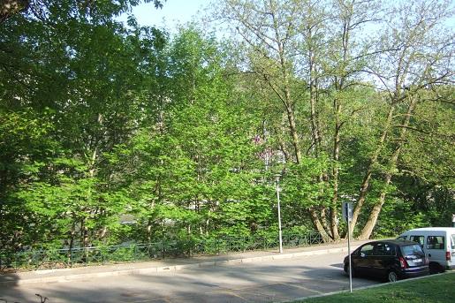 Pterocarya caucasica = fraxinifolia , Pterocaryer du Caucase  - Page 2 Dscf5624