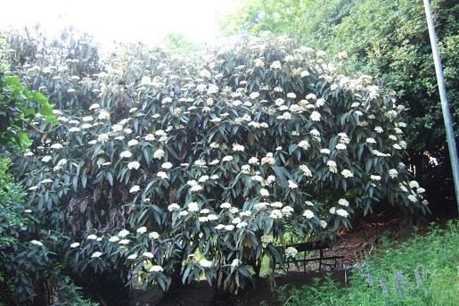 Viburnum rhytidophyllum Dscf5625