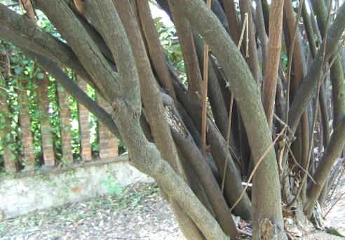 Viburnum rhytidophyllum Dscf5716